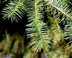 how can i reuse or recycle tree needles how can i