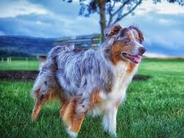 australian shepherd hair 55 most beautiful australian shepherd dog pictures and photos
