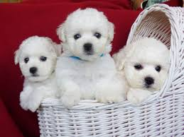 bichon frise breeders texas home belamour