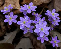Beautiful Plants by Anemone Hepatica Hepatica Nobilis Ranunculaceae Real