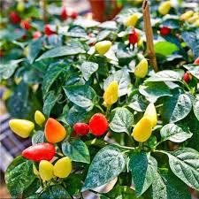 50pcs bag ornamental pepper seeds prairie edible grow inside