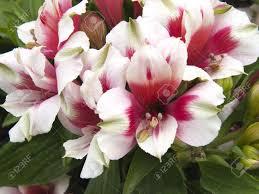 fleurs vivaces rustiques le astromeria est une plante vivace rustique ou semirustico qui