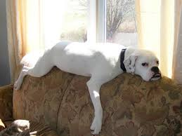 boxer dog shows 2016 best 10 white american bulldogs ideas on pinterest american