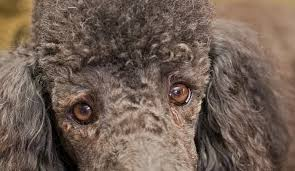 What Causes Dogs To Go Blind What Causes A Poodle To Go Blind U2013 Dogs Our Friends Photo Blog