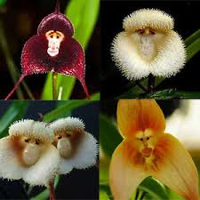 monkey orchid 9 style monkey orchid seeds flower plant 20pcs seeds