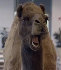 Hump Day Camel Meme - list of synonyms and antonyms of the word hump day camel