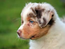 australian shepherd eyes the do u0027s and dont u0027s of puppy supplements