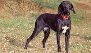 afghan hound good and bad plott hound dog breed information