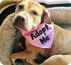 american pitbull terrier for sale in dallas texas dallas tx american staffordshire terrier mix meet alexi a dog