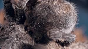 tarantula spider crawling on cork bark by pressmaster videohive