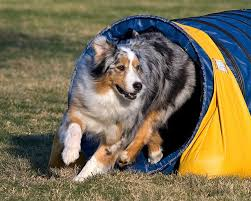 australian shepherd in california dogbreedz photo keywords jackpot