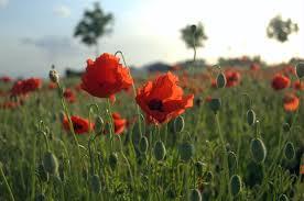 file poppies field in flanders jpg wikimedia commons