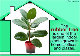 Large Indoor Plants A List Of Large Indoor Plants That Can Be Easily Grown At Home