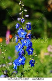 delphinium flowers delphinium stock images royalty free images vectors