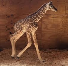 everything you need to know about april the giraffe u0027s baby