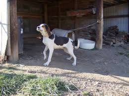bluetick coonhound forums coondawgs com coonhound classifieds and message forum