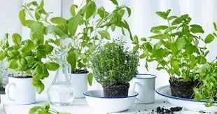 les herbes de cuisine les herbes aromatiques s invitent à table hypermarchés carrefour