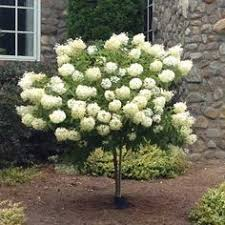 limelight hydrangea tree this hydrangea tree grows up to 6 8 ft