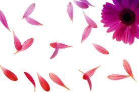flower petals free images nature blossom plant leaf flower petal bloom