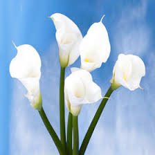 lilies flower calla lilies flower white global