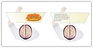 Which Part Of The Brain Consists Of Two Hemispheres 3 2 Our Brains Control Our Thoughts Feelings And Behavior