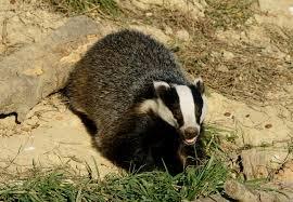 european badger simple english wikipedia the free encyclopedia
