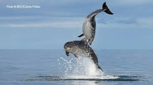 the mystery of dolphins u0026 breaching wdc