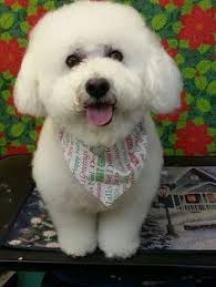 bichon frise whining pin by dorothy lovecchio on love my bichons pinterest bichons