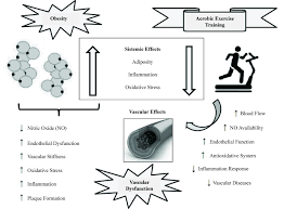 vascular dysfunction in obesity beneficial effects of aerobic