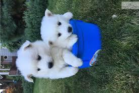 american eskimo dog for sale in kansas female 1 american eskimo dog puppy for sale near portland oregon