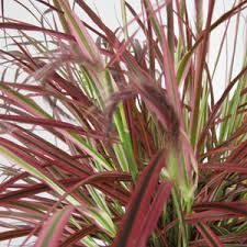 buy cheap ornamental grasses fireworks grasses for sale essex