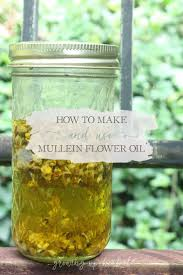 how to make and use mullein flower oil growing up herbal