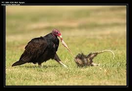 Seeking Vulture Turkey Vulture Enjoying Possum Carcass