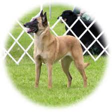belgian sheepdog alberta ckc standard for the bsdcc