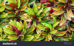 Croton Tropical Plant Close Colorful Garden Croton Variegated Laurel Stock Photo