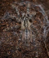 mysore ornamental tarantulas small