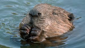 beaver chewing closeup ngsversion 1412623381588 jpg