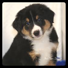 australian shepherd tan australian shepherd m black tan white u2013 sold star pups
