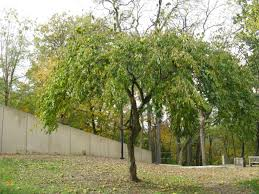 trees with large fruits in the fall friesner herbarium blog