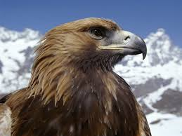 golden eagle wallpapers wallpaper cave