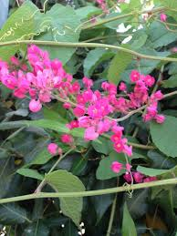 versatile coral vine highly edible and ornamental daily news