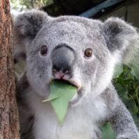 Koala Meme - koala meme 盪 who ate all the pies