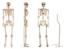 posable skeleton skeleton mummy rentals dapper cadaver props