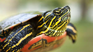what u0027s a painted turtle howcast the best how to videos on the web
