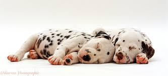 dogs dalmatian puppies asleep photo wp24302