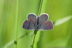 small blue butterfly cupido minimus butterfly garden