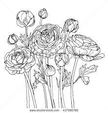 garden buttercups ranunculus garden flowers painted line on a