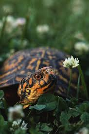 ornate box turtles pet info and care guide