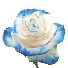 white and blue roses novelty roses archives farms