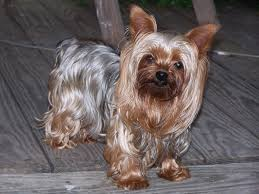 yorkshire terrier energetic and affectionate yorkies